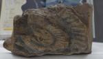 太古の東北、知る化石 一関・石と賢治のミュージアム