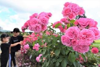 梅雨の曇天を彩る紫波ローズガーデンのバラ=20日、紫波町草刈