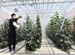 環境制御ハウス普及に力 軽米の県北農業研究所、収量増へ実証