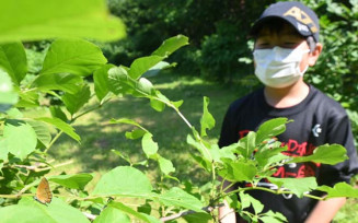 トネリコの木にとまるチョウセンアカシジミ(左下)を観察する参加者