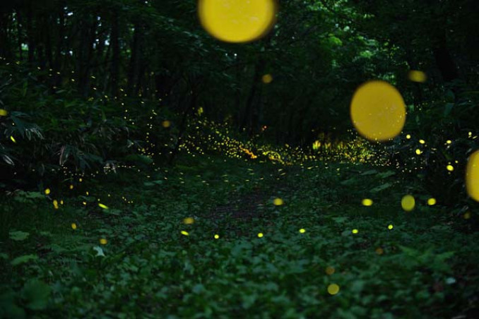 折爪岳のヒメボタル。生息環境を守るため周辺で交通規制を行う=2020年7月17日