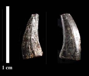 久慈市の白亜紀後期の地層から発見されたリカルドエステシアの歯化石(平山廉早稲田大教授、久慈琥珀博物館提供)