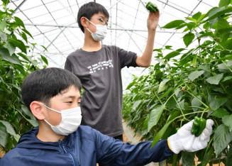 ピーマンを慎重に収穫する子どもたち