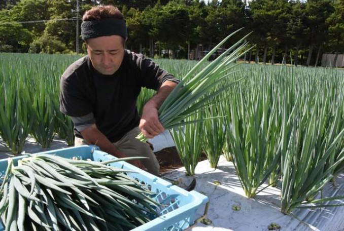 大きく成長した九条ネギを収穫する村上博信代表