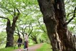 紡いだ景観、次代へ 岐路に立つ桜、展勝地開園100周年
