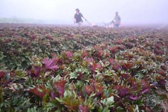 収穫のピークを迎えた片面紫蘇。葉の裏面の赤紫色が特徴だ