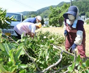 お茶用の柿の葉を採集する三陸めぐみの会の会員ら