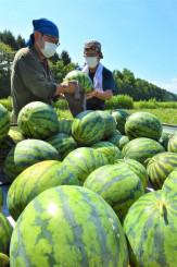 収穫の最盛期を迎えている滝沢スイカ=4日、滝沢市土沢