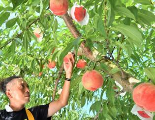 鮮やかに色付いたモモを収穫する田屋祐樹さん=6日、盛岡市手代森