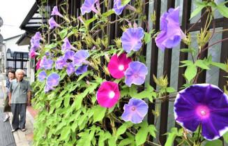 町家の軒下に咲き、まち並みに彩りを添えるアサガオ=11日、盛岡市鉈屋町