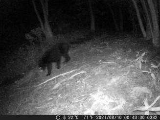 盛岡市動物公園内のカメラに写った野生のツキノワグマ=10日午前0時43分(市動物公園提供)