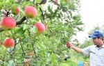 赤々、江刺が誇る「紅ロマン」 奥州で収穫スタート