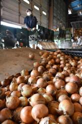 夏に収穫したタマネギの選果を行う水分農産の施設。春定植の栽培方法の確立により、東北産の供給拡大が期待できる=紫波町小屋敷
