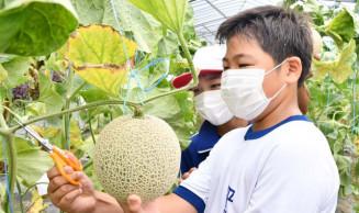 黄金メロンを慎重に収穫する児童