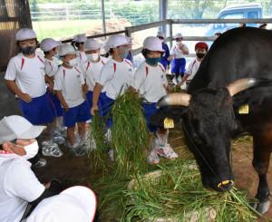 牛に牧草を食べさせる子どもたち