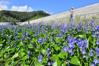 東日本大震災後に自生したミズアオイ=2日、釜石市片岸町