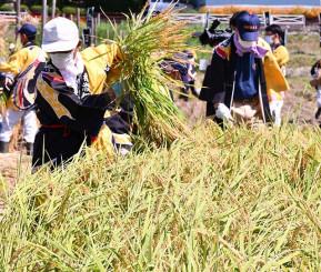 収穫の喜びをかみしめ、黄金色に実った稲を手刈りする参加者