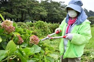 桜並木沿いのアジサイを手入れする参加者