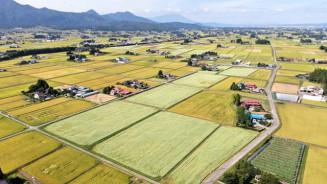 収穫期を迎えて黄金色に染まる水田と、白いソバ畑がコントラストを描く紫波町内=7日、同町上平沢(本社小型無人機から撮影)