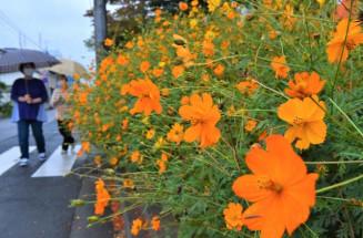 鮮やかなオレンジ色で地域を彩るキバナコスモス=8日、盛岡市仙北・仙北きた児童公園