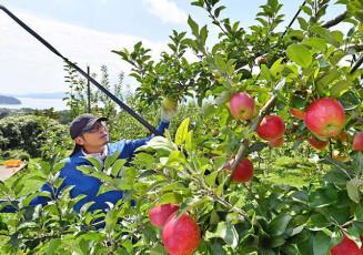 広田湾を望むリンゴ畑で、収穫直前の品種の手入れに励む吉田司さん=11日、陸前高田市米崎町