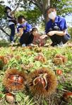 クリ広げる秋の喜び 一関・花泉観光栗園