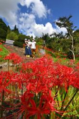 秋晴れの下、真っ赤に咲くヒガンバナ=25日、北上市稲瀬町・如意輪寺