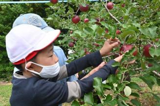 真剣なまなざしでリンゴを収穫する児童