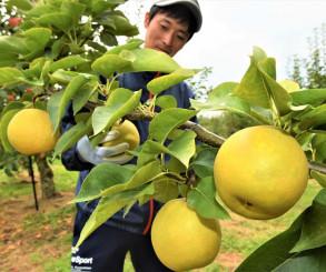 旬を迎えた和ナシを収穫する小山田将博さん=5日、滝沢市木賊川
