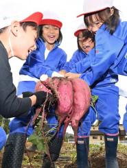 大きなサツマイモを引っこ抜き、歓声を上げる田山小児童=12日、八幡平市下モ川原