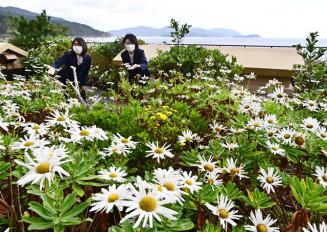 海を見渡せる庭園で見頃を迎えたハマギク=13日、大槌町浪板海岸・三陸花ホテルはまぎく
