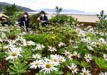 復興進む浜、不屈のハマギクが見頃 大槌の庭園