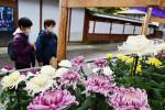 中尊寺包む菊の花 平泉・まつり開幕
