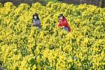 陽光浴び滋味増す黄色 軽米で食用菊収穫