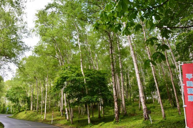 31万本以上のシラカバが群生する平庭高原。「世界の研究者の保養地に」との期待が高まってきた