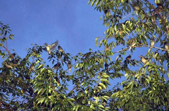 立木に集まるムクドリ。「ジュルジュル」と大きな鳴き声を上げる